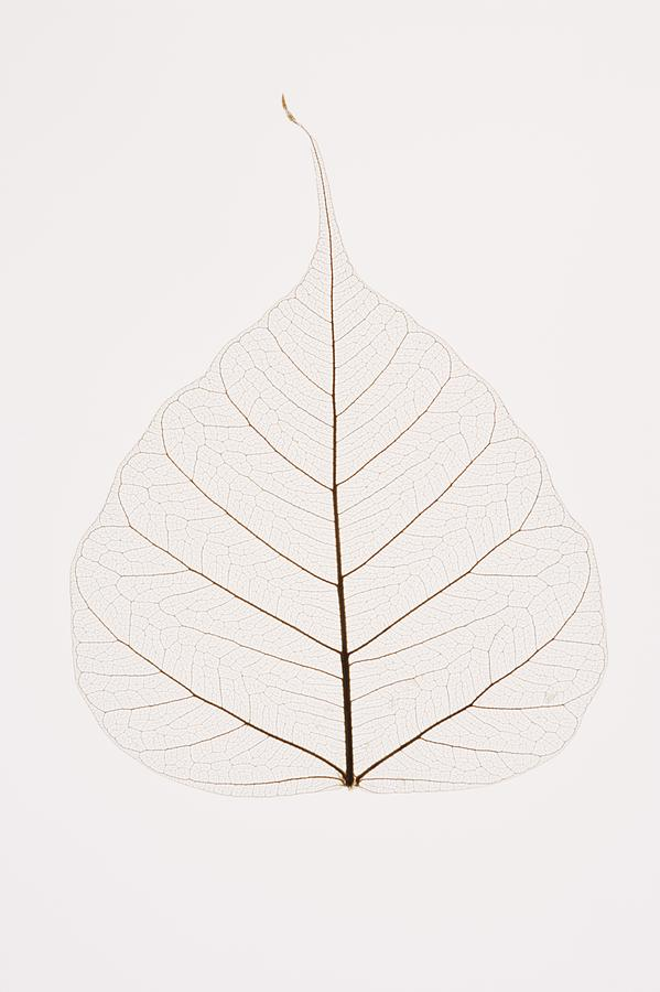 Transparent Leaf Photograph  - Transparent Leaf Fine Art Print