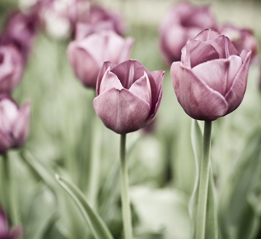 Tulip Garden Photograph - Tulip Garden by Frank Tschakert