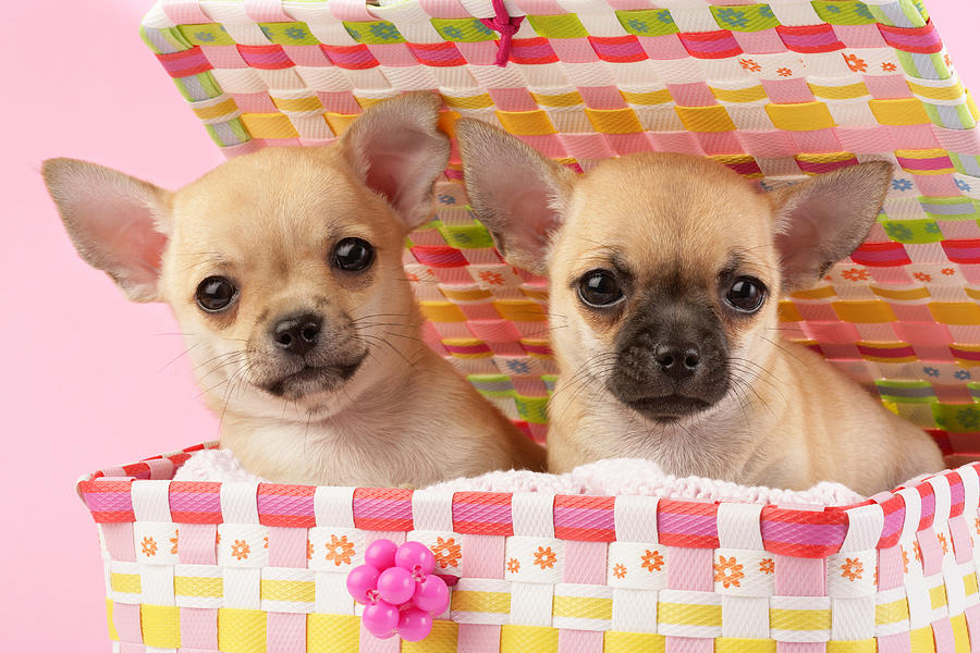 Two Chihuahuas Photograph