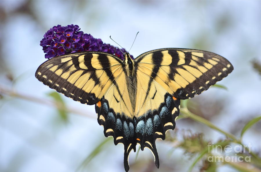 Two  Tailed Swallowtail Photograph