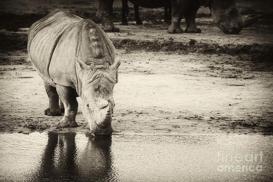 Two White Rhinos Photograph