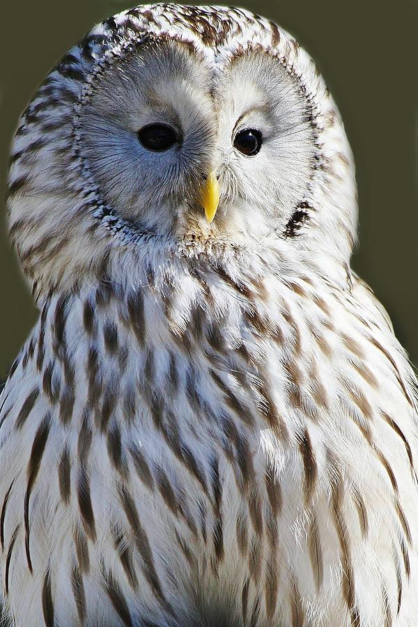 Ural Owl Photograph