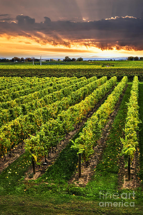 Vineyard At Sunset Photograph  - Vineyard At Sunset Fine Art Print