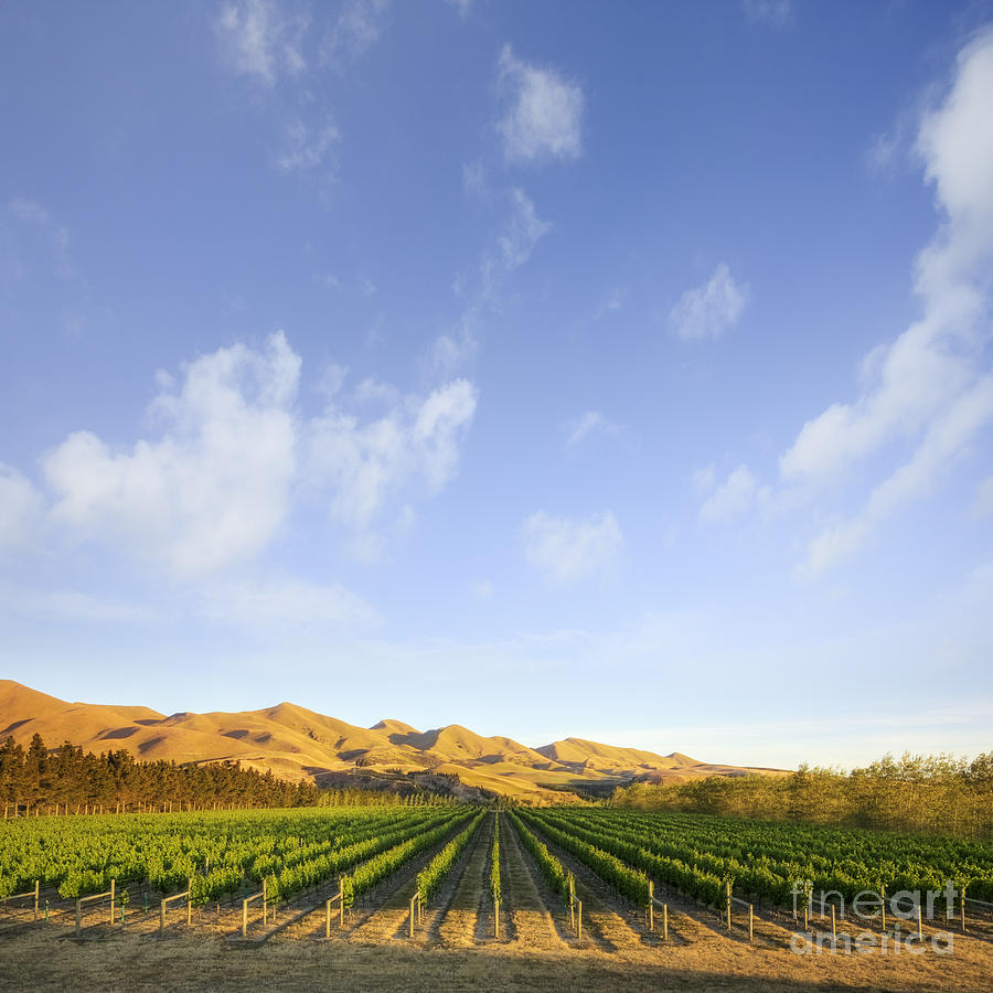 Canterbury Photograph - Vineyard In Canterbury New Zealand by Colin and Linda McKie