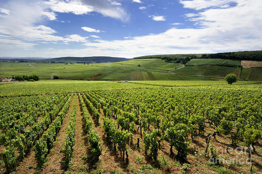 Vineyard Of Cotes De Beaune. Cote Dor. Burgundy. France. Europe Photograph  - Vineyard Of Cotes De Beaune. Cote Dor. Burgundy. France. Europe Fine Art Print