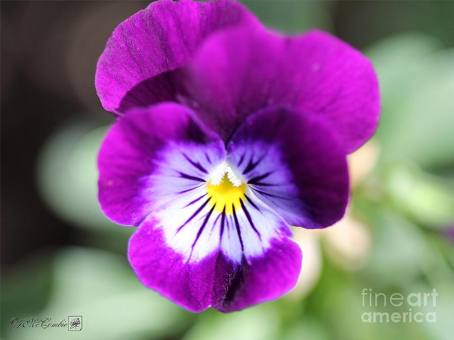Viola Named Sorbet Plum Velvet Jump-up Photograph