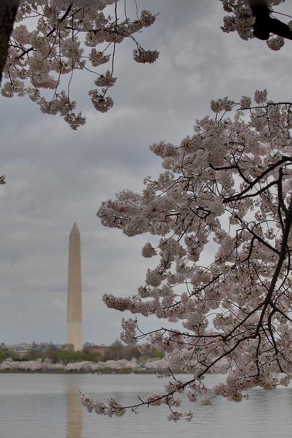 America Photograph - Washington Monument - Cherry Blossoms - Washington Dc - 011315 by DC Photographer