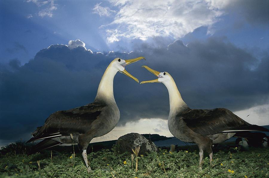 Feb0514 Photograph - Waved Albatross Courtship Dance by Tui De Roy