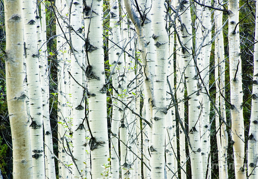 White Birch Tree Forest is a photograph by Oscar Gutierrez which was ...