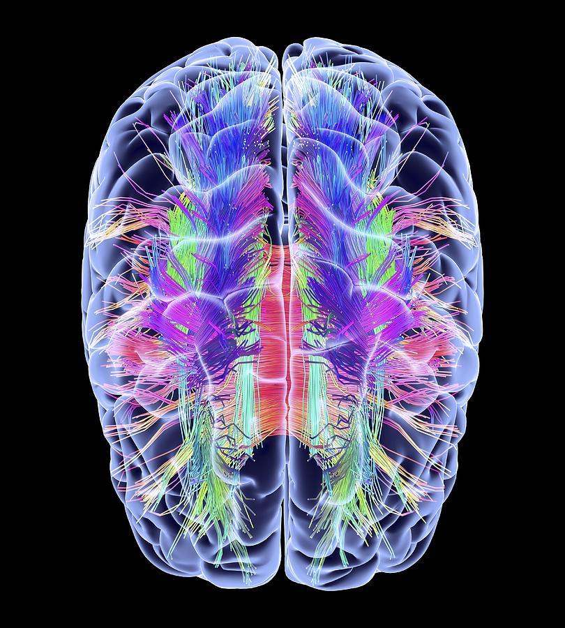 White Matter Brain White Matter Fibres And Brain