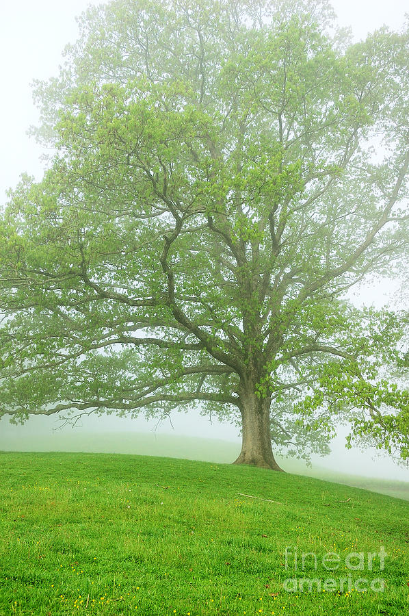 White Oak Tree In Fog Photograph
