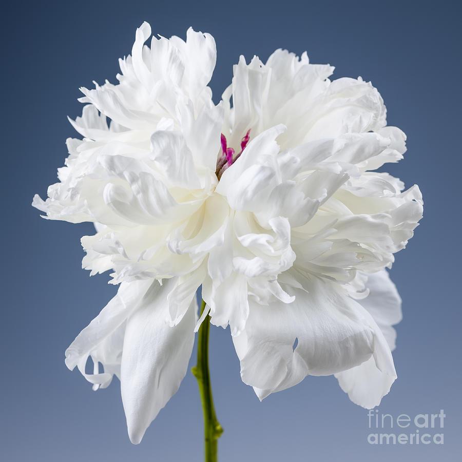 White Peony Flower Photograph