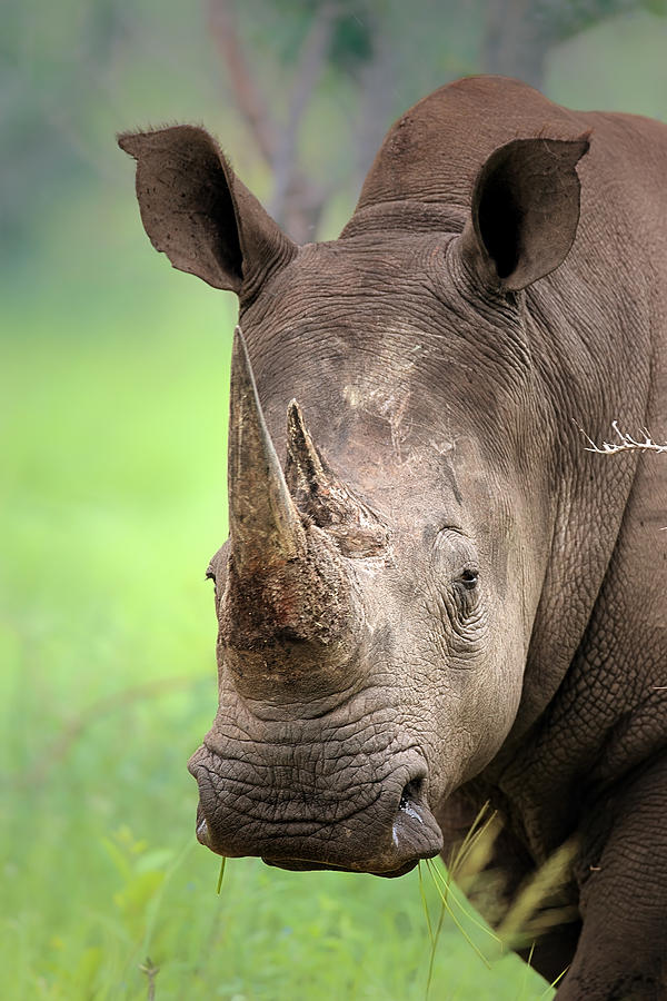 Square-lipped Photograph - White Rhinoceros by Johan Swanepoel