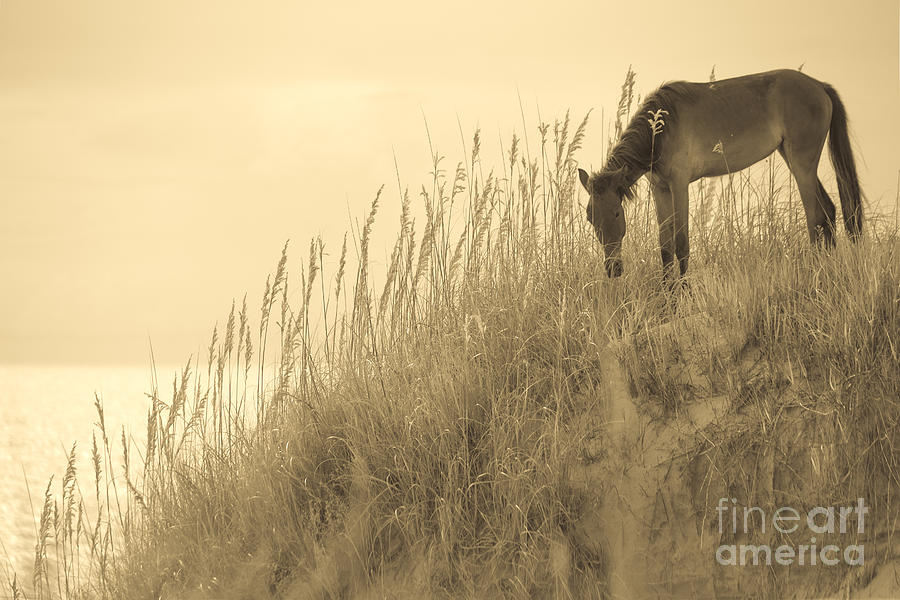Wild Horse On The Outer Banks Photograph  - Wild Horse On The Outer Banks Fine Art Print