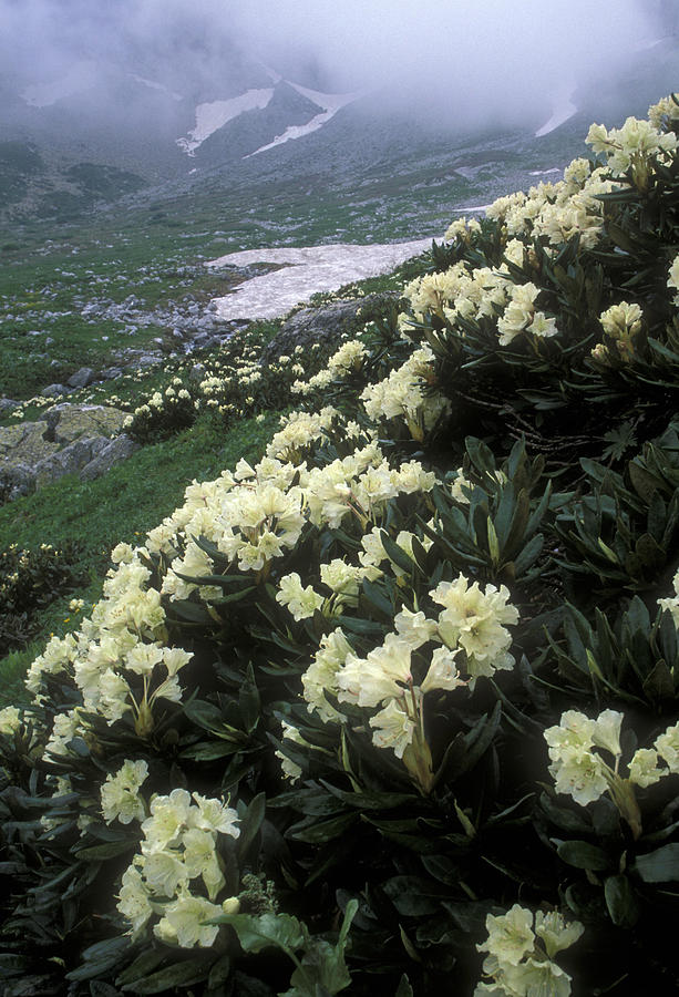 Wild Rhododendrons On A Hillside Photograph