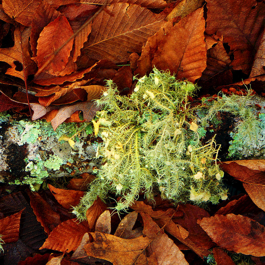 Moss; Lichen; Leaves; Autumn; Forest; Forest Floor; Green; Brown; Texture; Beautiful; Woods Photograph - Wolf Moss Lichen by Frank Winters
