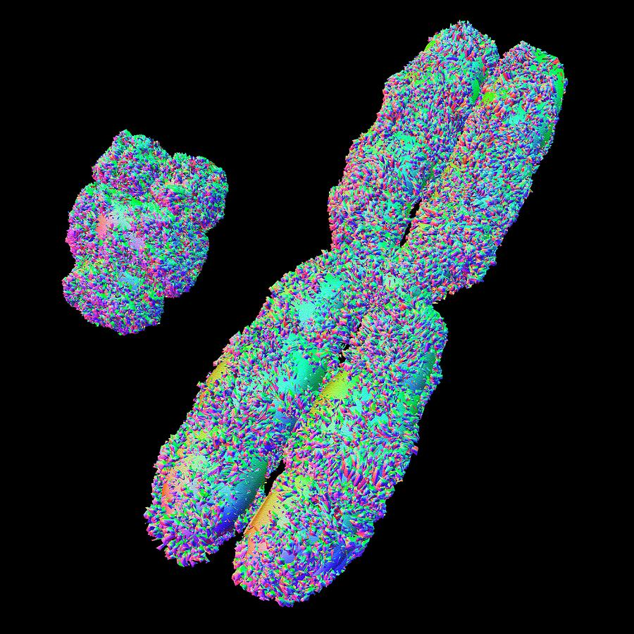 X And Y Chromosome Photograph by Alfred Pasieka X And Y Chromosomes