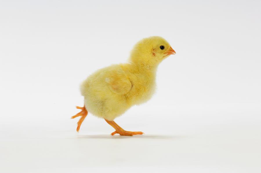 B Calm Yellow Chick Baby Chic...