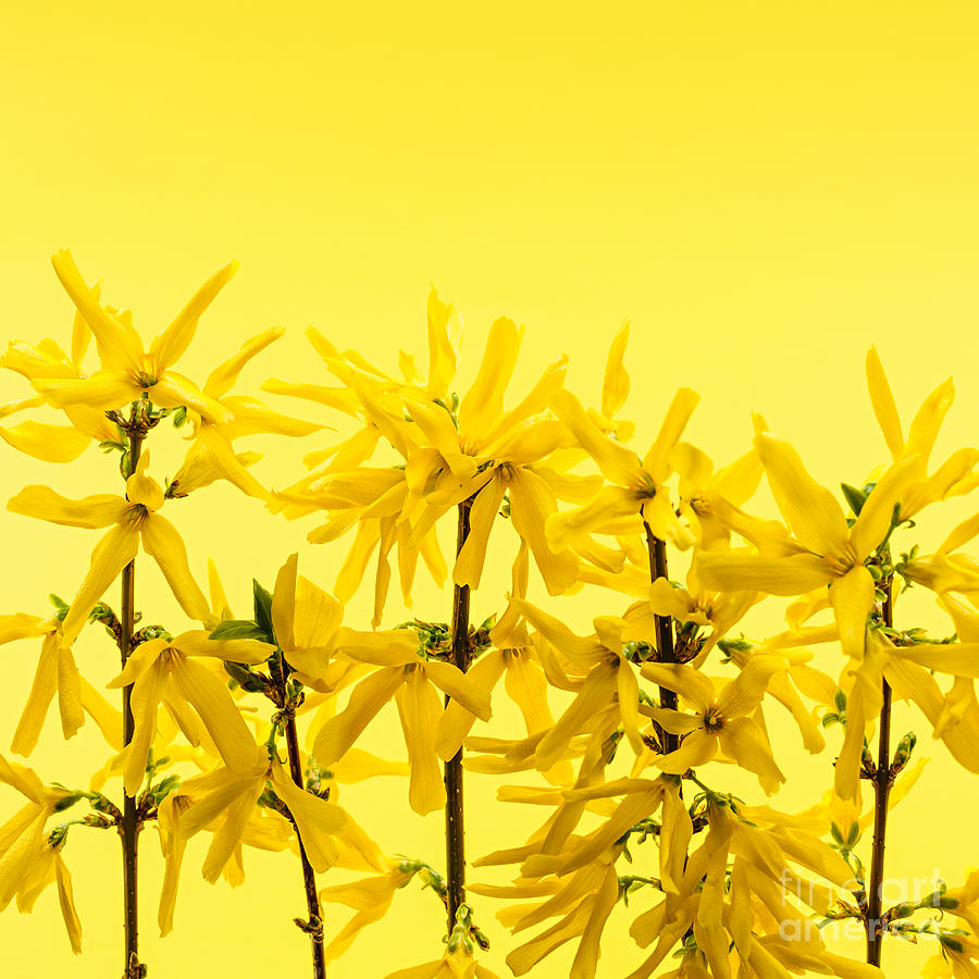 Yellow Photograph - Yellow Forsythia Flowers by Elena Elisseeva