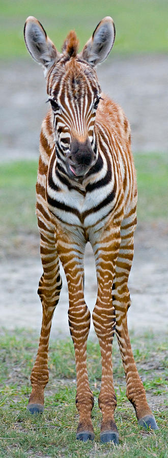 Young Zebra Standing In A Field Photograph by Panoramic Images