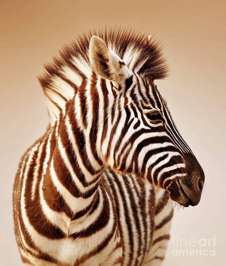 Zebra Portrait Photograph