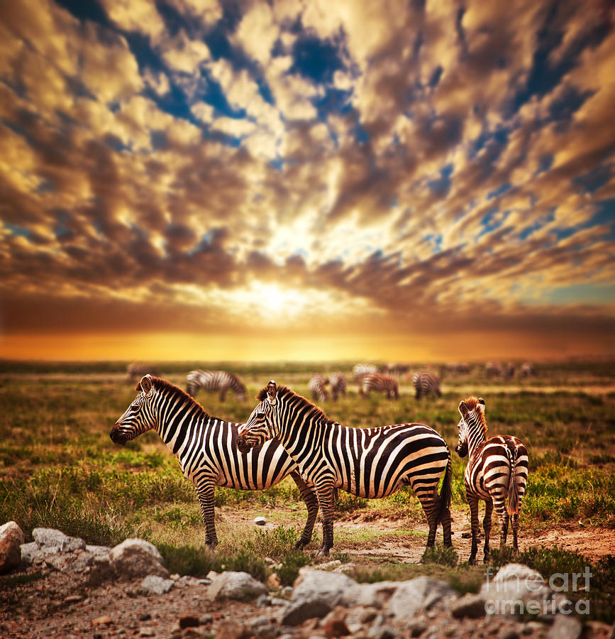 Zebras Herd On African Savanna At Sunset. Photograph