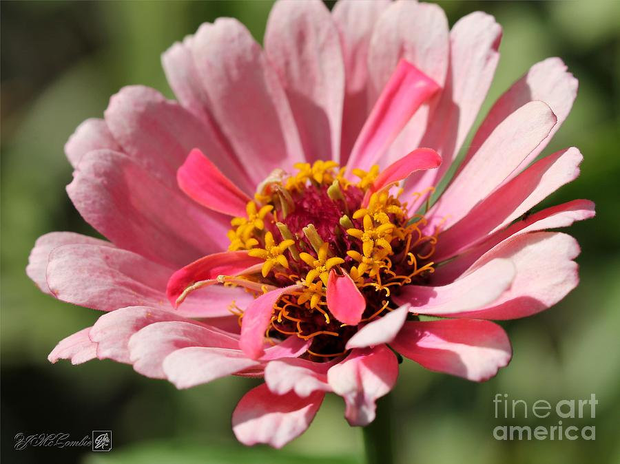 Zinnia From The Whirlygig Mix Photograph  - Zinnia From The Whirlygig Mix Fine Art Print