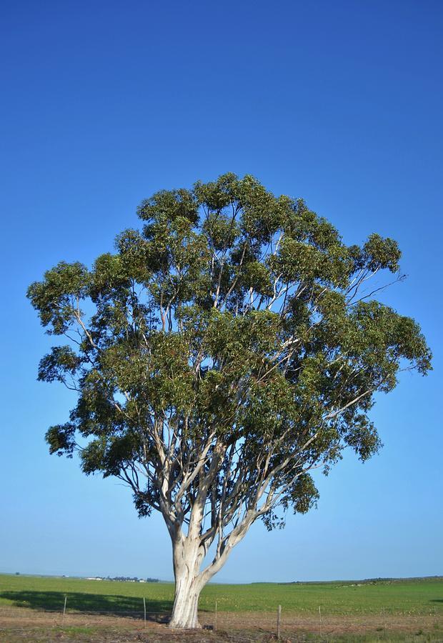 Bluegum tree photograph by werner lehmann for Garden design under gum trees