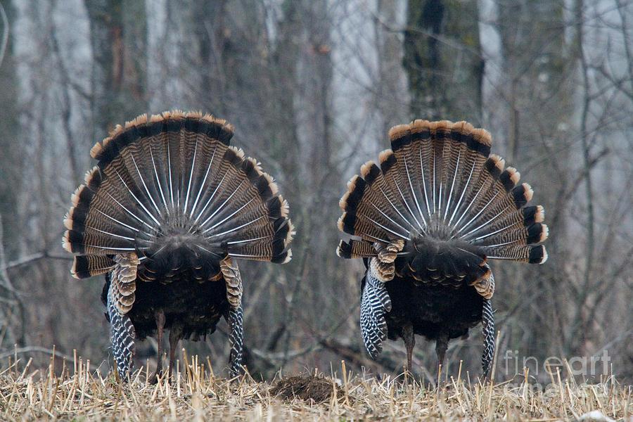 Eastern Wild Turkey Photograph - Jake Eastern Wild Turkeys by Linda Freshwaters Arndt