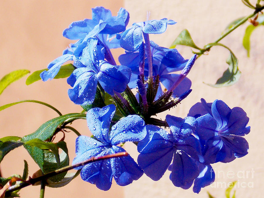 2013 Photograph - 1154-blue Plumbago by Elvira Ladocki