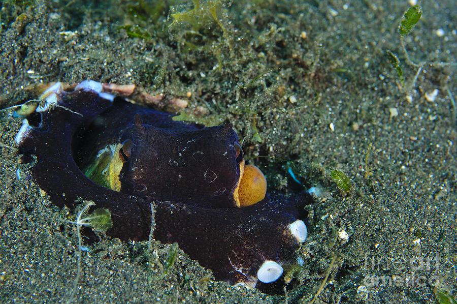A Coconut Octopus, Lembeh Strait Photograph