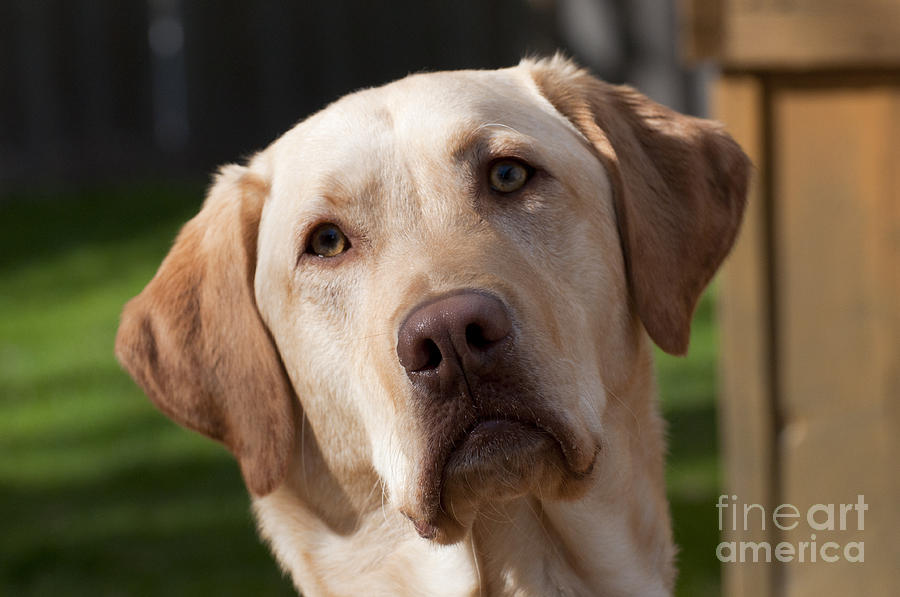 A Golden Lab Named Monty Photograph