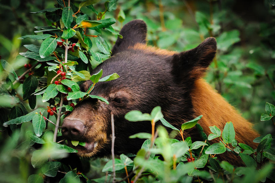 American Black Bear is a photograph by Brandon Smith which was ...