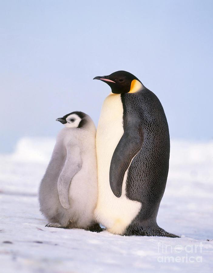 Emperor Penguin Photograph - Emperor Penguin Aptenodytes Forsteri by Hans Reinhard
