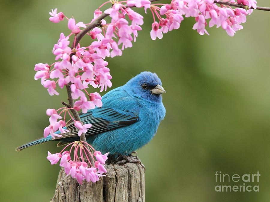 Nature Photograph - Indigo Bunting by Jack R Brock