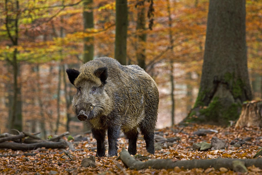 Wild Boar Photograph - 121213p283 by Arterra Picture Library
