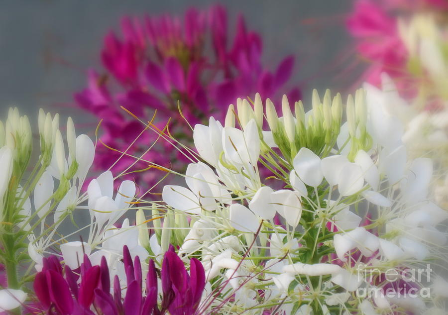 Cleome  Photograph
