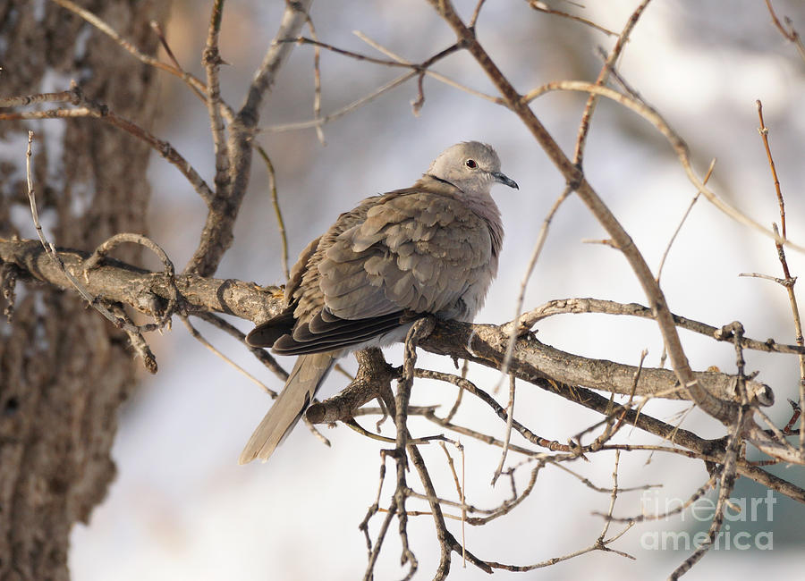 Euarsian Collard Dove Photograph  - Euarsian Collard Dove Fine Art Print