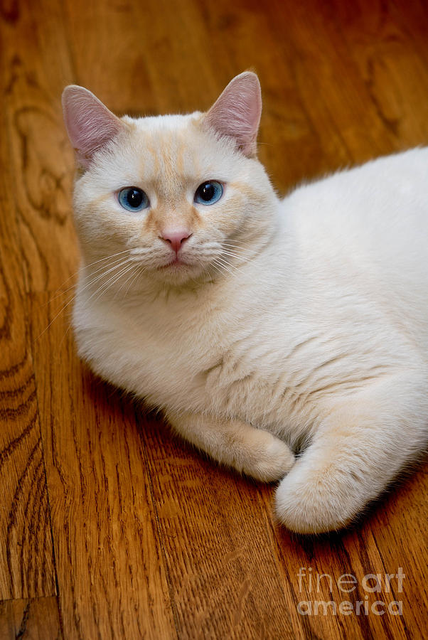 Red Point Siamese Flame point siamese cat