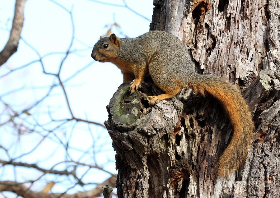 Eastern Fox Squirrel Photograph