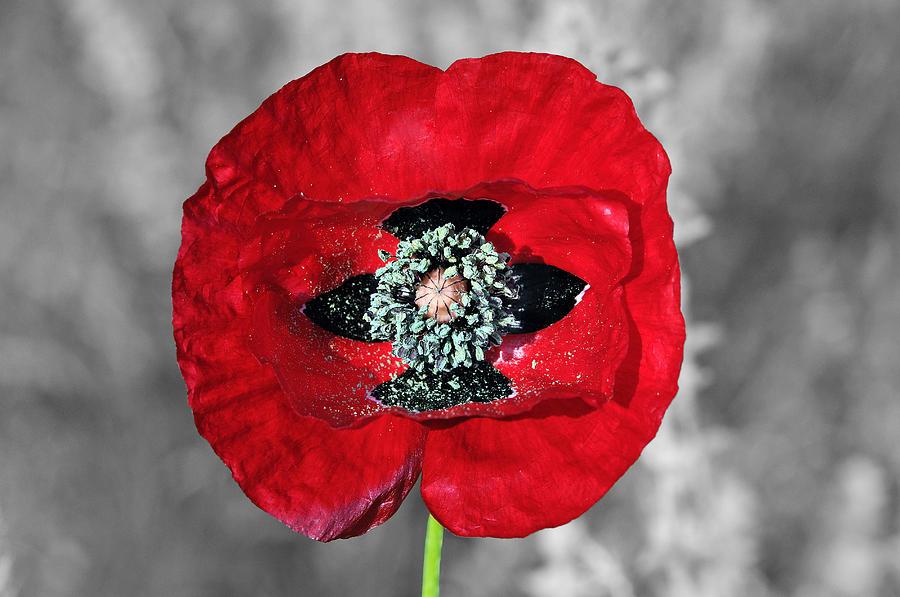 Poppy Flower Digital Art By George Atsametakis