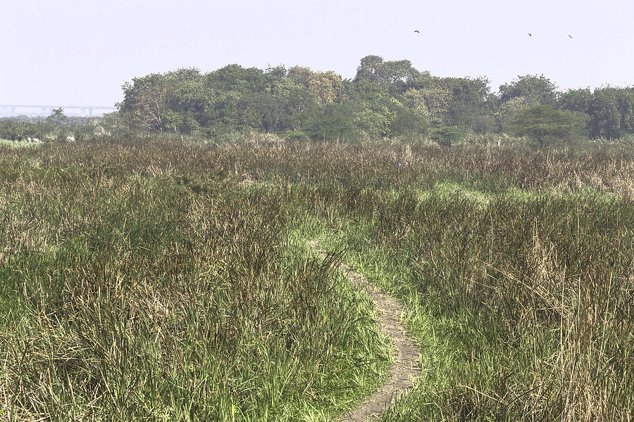 A small path through very tall grass inside the okhla bird for Very tall ornamental grasses