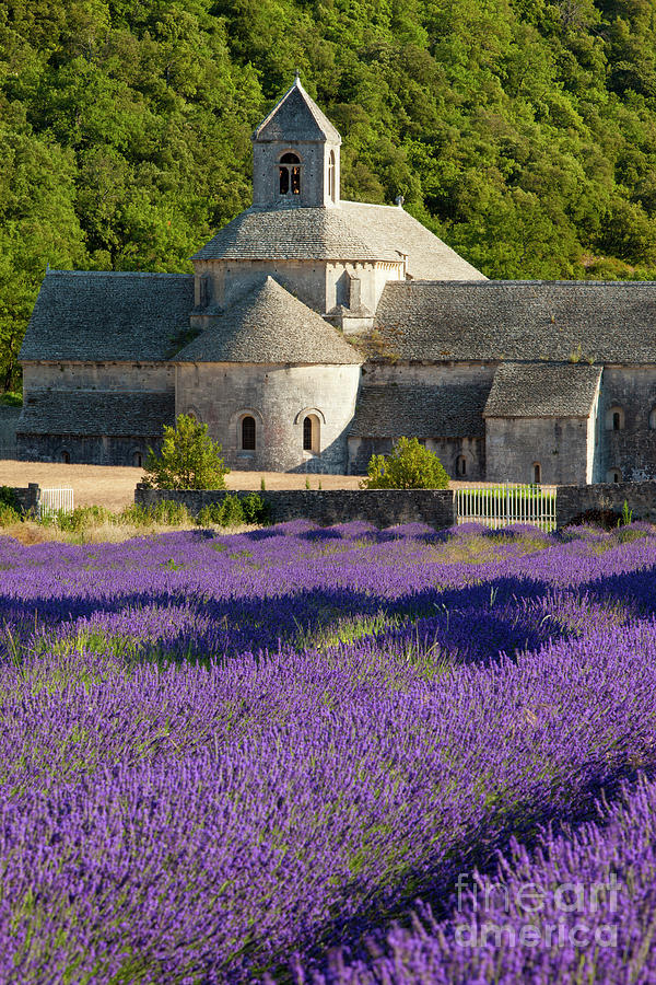 Аббатство Сенанк возле городка Горд - самое известное лавандовое поле Прованса
