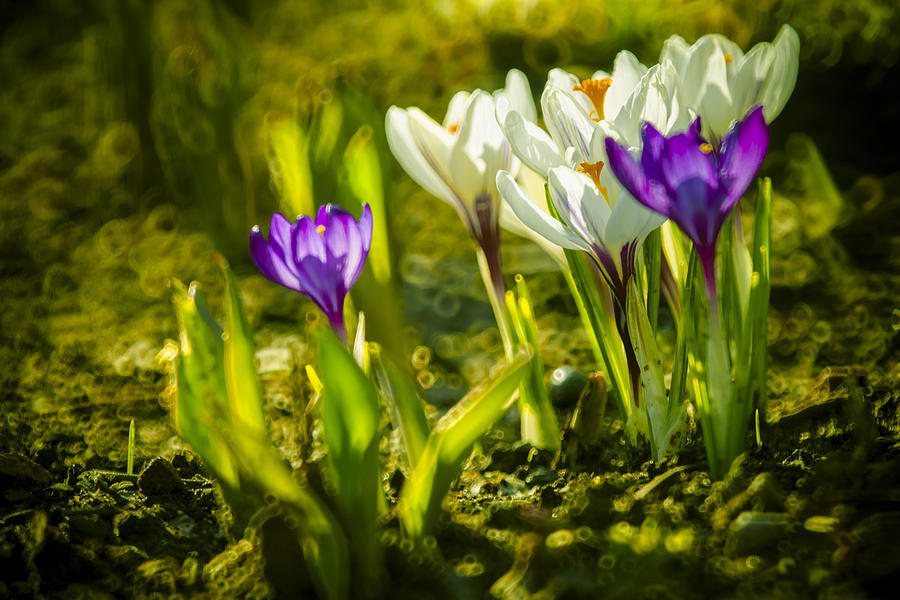 Abstract Crocus Background Photograph