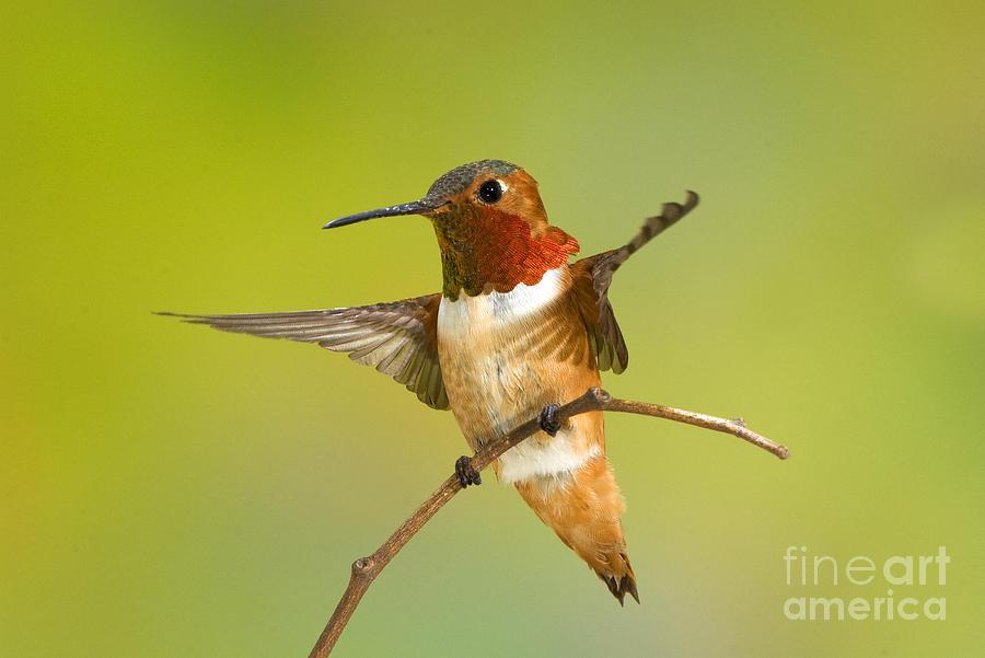 Selasphorus Sasin Photograph - Allens Hummingbird by Anthony Mercieca