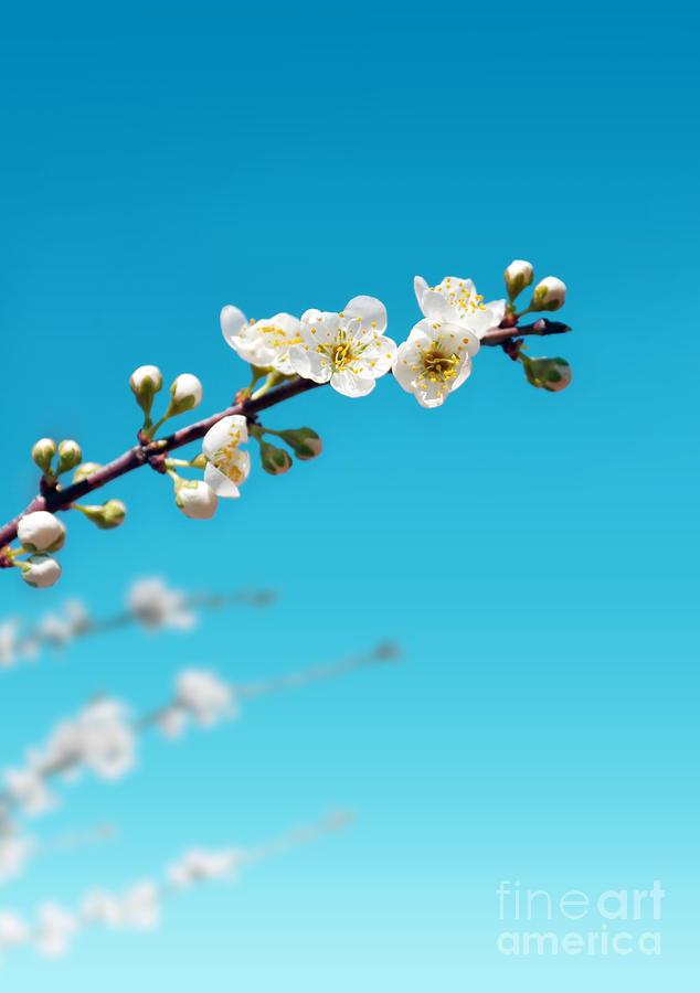 Almond Branch Photograph