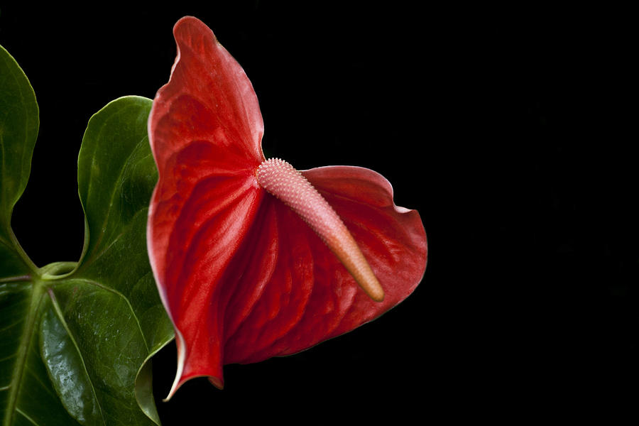Anthurium Photograph - Anthem by Doug Norkum