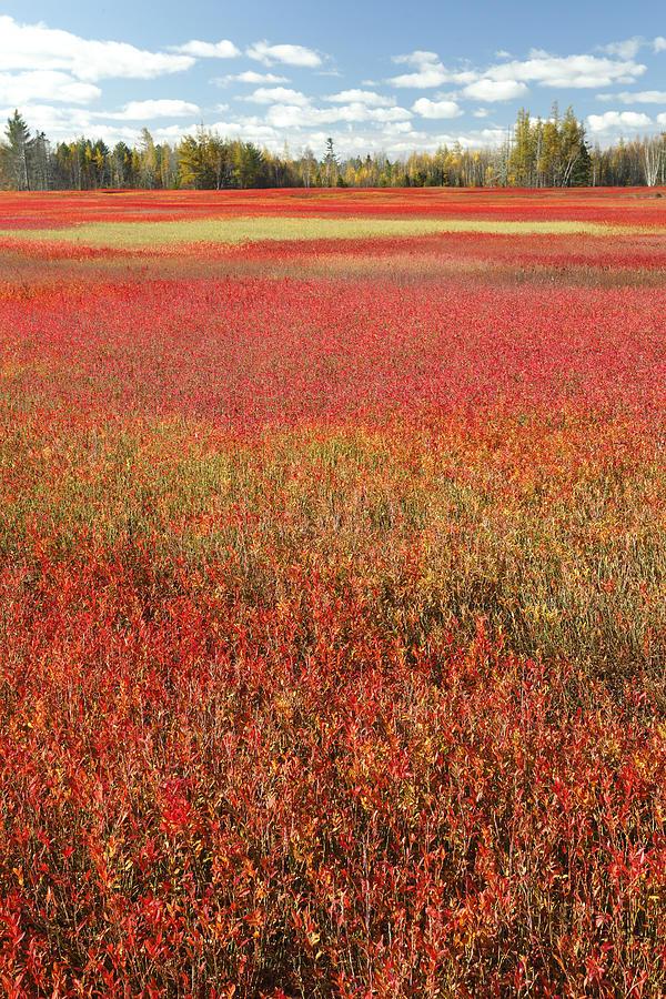 Autumn Blueberry Field Maine Photograph