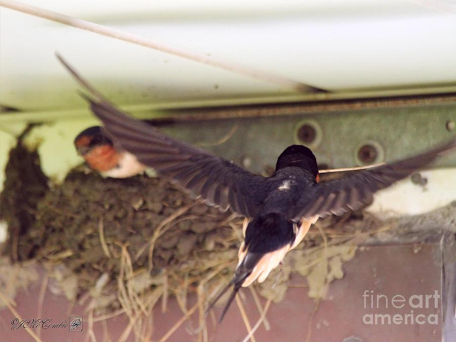 Barn Swallows Constructing Their Nest Photograph