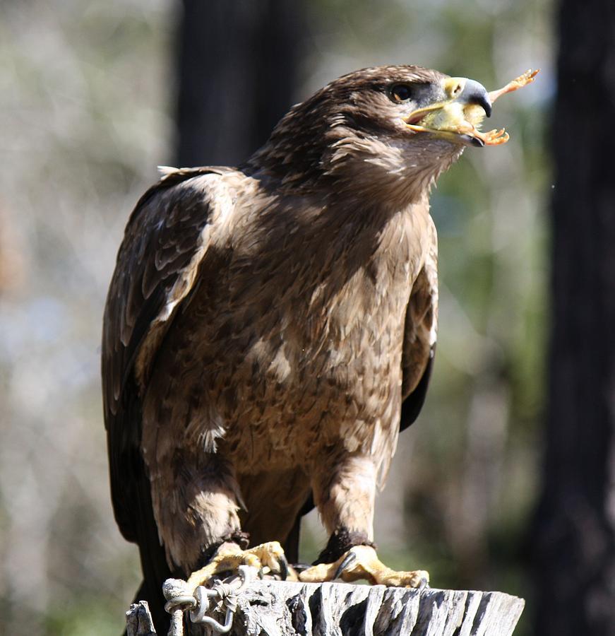 Bird Of Prey Photograph